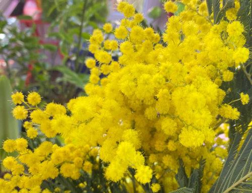 Du soleil et du parfum avec un bouquet de mimosa
