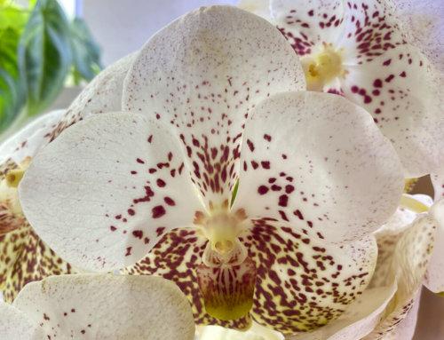 Vanda hybride en bouquet