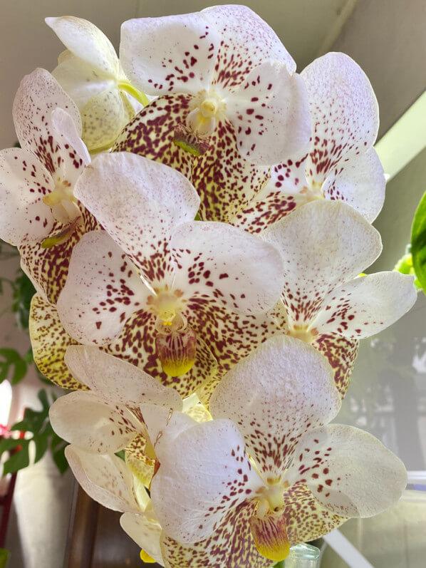 Vanda, orchidée, bouquet, fleurs coupées, Paris 19e (75)