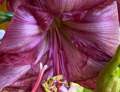 Splendeur fanée de l'amaryllis