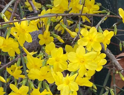 La floraison éclatante du jasmin d'hiver (Jasminum nudiflorum)