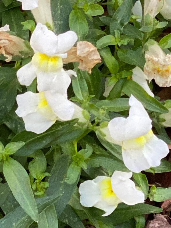 Muflier fleuri en hiver, Anthirrhinum majus, jardin urbain, place Nathalie Lemel, Paris 3e (75)