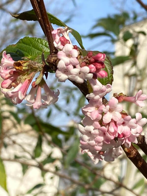 Viorne de Bodnant (Viburnum bodnantense) en hiver dans le Square May Picqueray, Paris 11e (75)