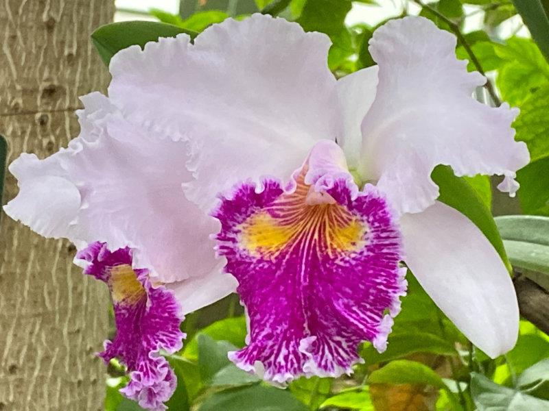Cattleya hybride, exposition Mille et une orchidées, Grandes Serres, Jardin des plantes, Paris 5e (75)