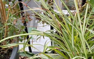 Chlorophytum saundersiae 'Starlight' en hiver sur mon balcon parisien, Paris 19e (75)