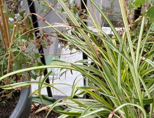 Chlorophytum saundersiae 'Starlight' bien vivace sur mon balcon parisien
