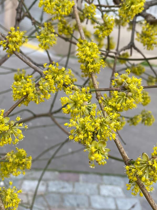 Floraison d'un cornouiller mâle (Cornus mas) en hiver, Paris 19e (75)