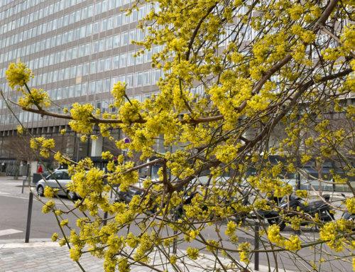 Cornouiller mâle parisien en pleine floraison