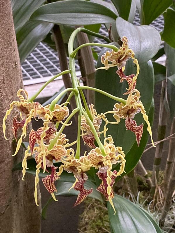 Dendrobium spectabile, Exposition Mille et une orchidées, Grandes Serres, Jardin des plantes, Paris 5e (75)