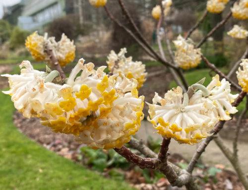 Edgworthia chrysantha : une floraison surprenante et si parfumée