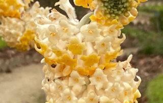 Edgeworthia chrysantha, Jardin des plantes, Paris 5e (75)