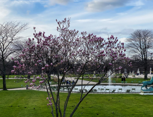 Floraison des magnolias à la mi février dans Paris