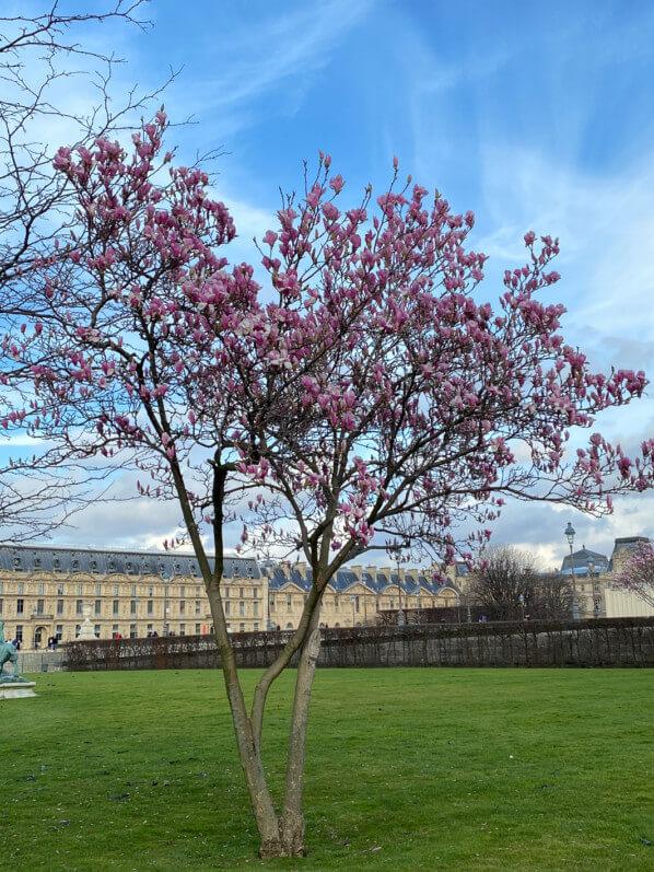 Magnolia fleuri en hiver dans le Jardin des Tuileries, Paris 1er (75)
