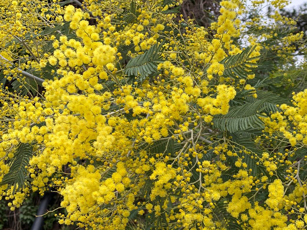 Mimosa (Acacia decurrens), Jardin des plantes, Paris 5e (75)