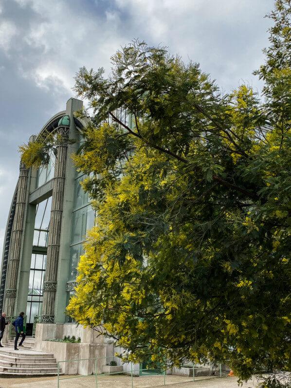 Mimosa (Acacia decurrens), Jardin des plantes, Paris 5e (75), 5 février 2020, photo Alain Delavie