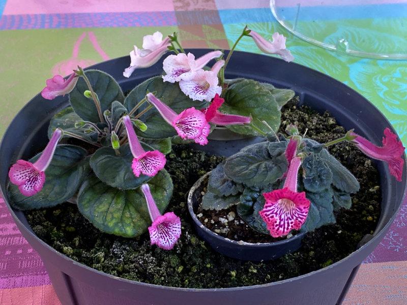 Potées de mini Sinningia hybride, Gesnériacées, terrarium, Paris 19e (75)