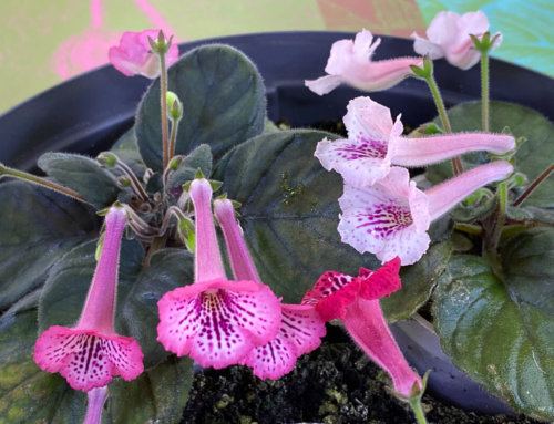La pleine floraison de mes mini Sinningias