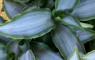 Murdannia loriformis 'Bright Star', Commélinacées, plante d'intérieur, Paris 19e (75)