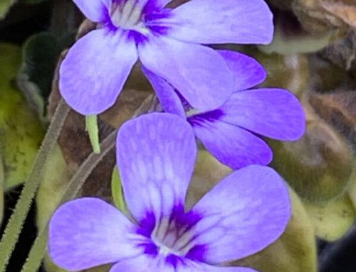 Quelques fleurs de Pinguicula 'Tina'