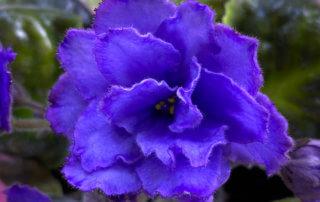 Streptocarpus (Saintpaulia) 'Blue Dragon', Gesnériacées, plante d'intérieur, Paris 19e (75)