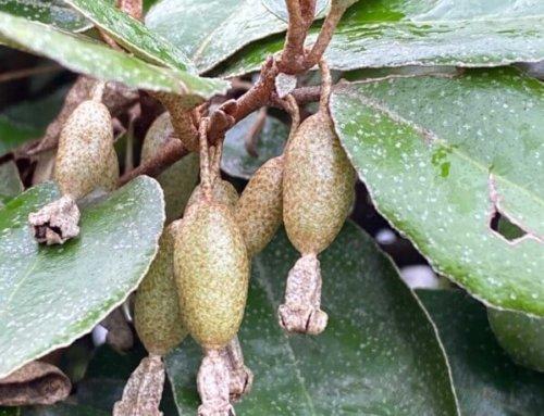 Devinette : quel arbuste portent ces fruits ?