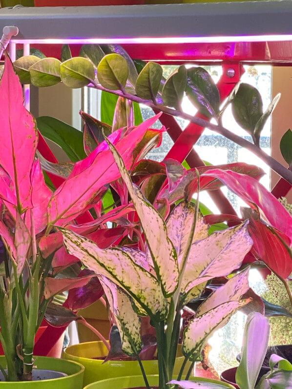 Aglaonemas sous éclairage artificiel, plante d'intérieur, Paris 19e (75)