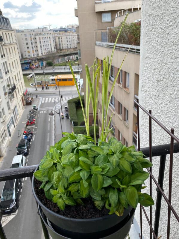 Alstroemeria 'Little Miss Zoé' sur mon balcon parisien en fin d'hiver, Paris 19e (75)