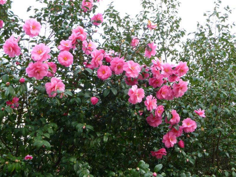 Camellia en plein floraison, square Édouard Vaillant, Paris 20e (75)