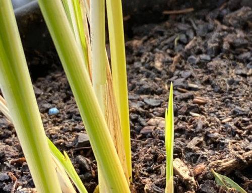 Chlorophytum saundersiae 'Starlight', à peine rempotée, déjà des pousses