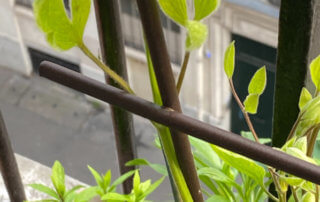 Clematis 'Blue River'® Zoblueriver en fin d'hiver sur mon balcon parisien, Paris 19e (75)