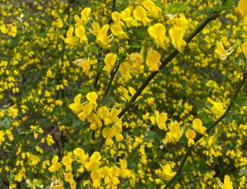 La coronille arbustive, un arbuste à floraison printanière longue et généreuse