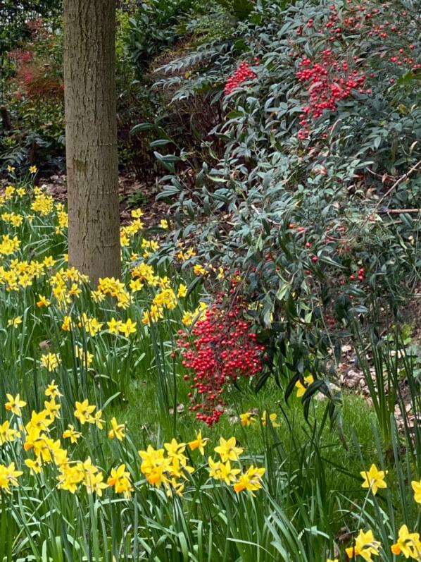 Jonquilles (Narcissus) et Nandina en hiver dans le parc de Passy, Paris 16e (75)
