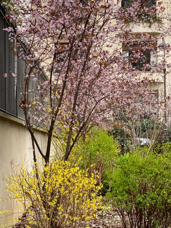 Prunus et Forsythia en hiver dans le parc de Passy, Paris 16e (75)