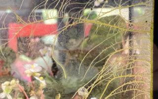 Racines aériennes de Begonia U074, Bégoniacées, plante d'intérieur, Paris 19e (75)