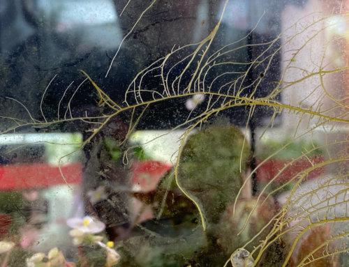 Les racines aériennes du bégonia U074 dans un terrarium