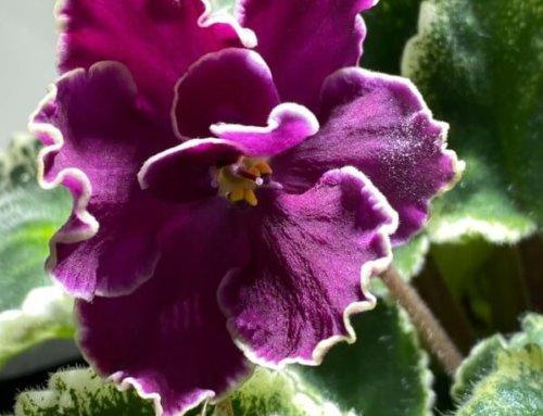 Nouvelle floraison d'un de mes saintpaulias