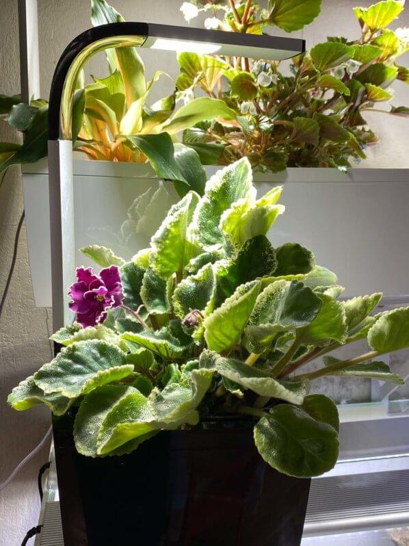 Saintpaulia hybride, Gesnériacées, plante d'intérieur, Paris 19e (75)