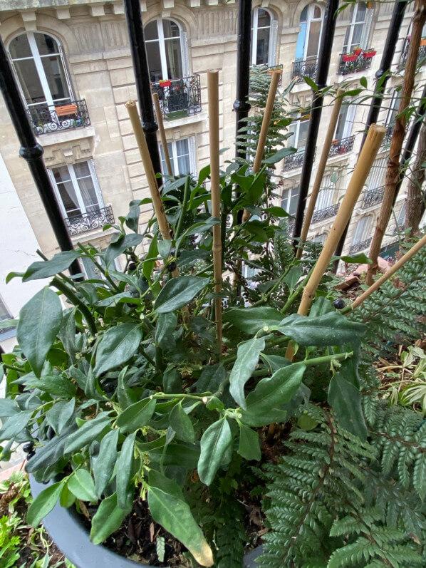 Sarcococca taillé sur mon balcon parisien en fin d'hiver, Paris 19e (75), 7 mars 2020, photo Alain Delavie
