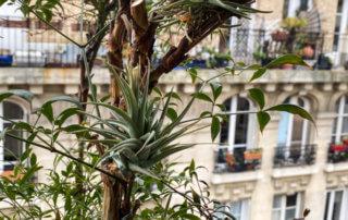 Tillandsias suspendus dans un Nandina sur mon balcon parisien en fin d'hiver, Paris 19e (75)