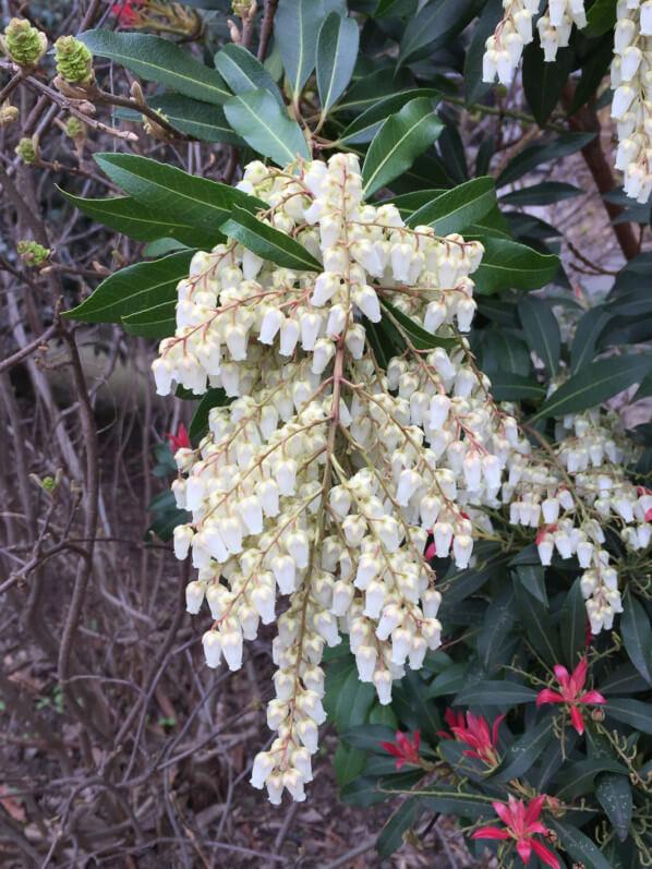 Panicule de fleurs de l'andromède du Japon, Pieris japonica 'Forest Flame', Jardin des Plantes, Paris 5e (75)