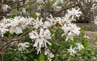 Magnolia fleuri en fin d'hiver dans le square Louis Majorelle, Paris 11e (75)