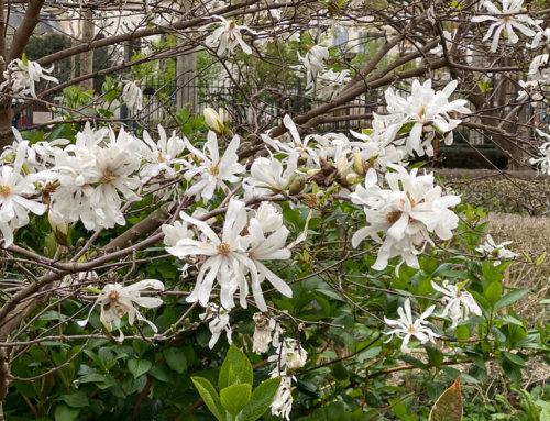 Les floraisons printanières du square Louis Majorelle (Paris 11e)