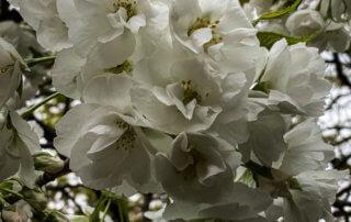 Cerisier d'ornement en fleur en fin d'hiver dans le square Louis Majorelle, Paris 11e (75)