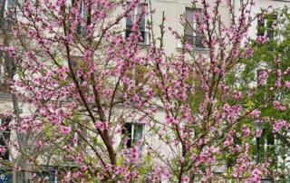 Pêcher en fleur en fin d'hiver dans le square Louis Majorelle, Paris 11e (75)