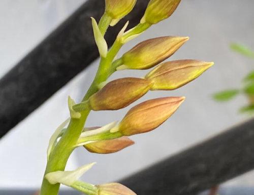 La floraison de ma potée de calanthe s'annonce sur mon balcon parisien