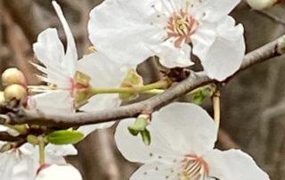 Floraison d'un prunellier en hiver dans le Domaine national de Chambord, Chambord (41)