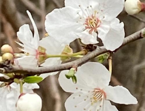 La belle floraison immaculée du prunellier