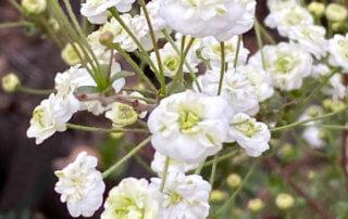 Spirée en fleur en plein hiver dans le parc de Passy, Paris 16e (75)