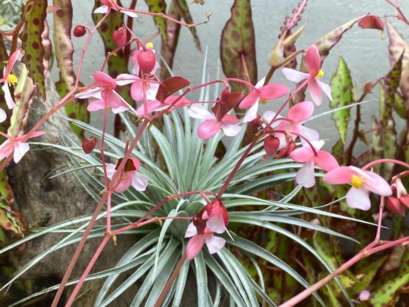 Fleurs de Bégonia cleopatrae et Tillandsia, terrarium, plante d'intérieur, Paris 19e (75)