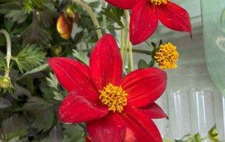 Bidens 'Spicy Dark Red', fleur, au début du printemps sur mon balcon parisien, Paris 19e (75)